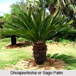 Jaggery_Palm_Indian_Medicinal_Plant